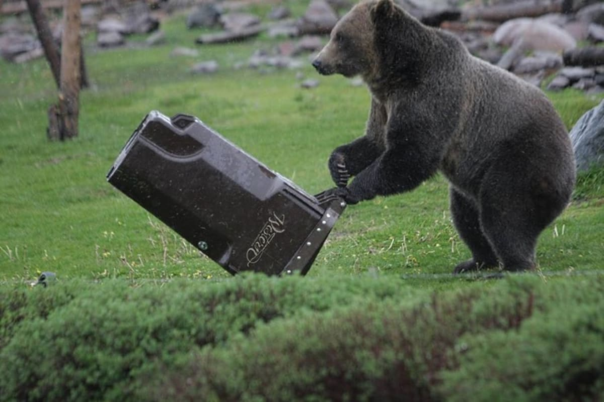 "Watch Colorado Bears Put ""Bear-Resistant"" Trash Cans to ..."